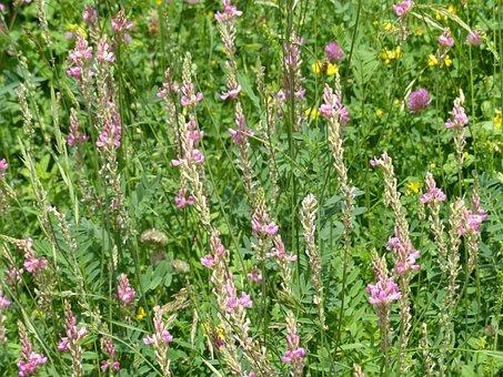 Seed Sainfoin, Sainfoin, Blossom, Bloom, Plant