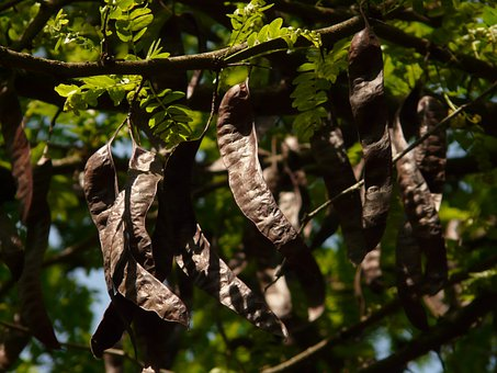 Carob, Tree, Legumes, Leaves, Branch, Fruit, Seeds