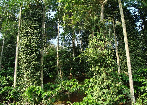 Coffee Plantation, Coffea Robusta, Black Pepper Vine