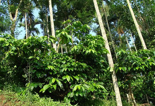 Coffee Plantation, Coffea Robusta, Areca Palms, Ammathi