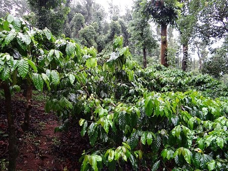 Coffee Plantation, Coffea Robusta, Madikeri, Coorg