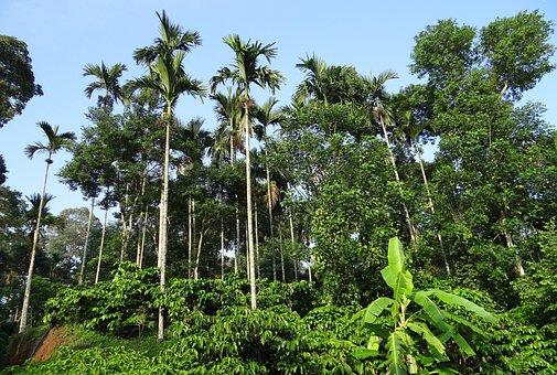Coffee Plantation, Hills, Areca Palms, Ammathi, Coorg
