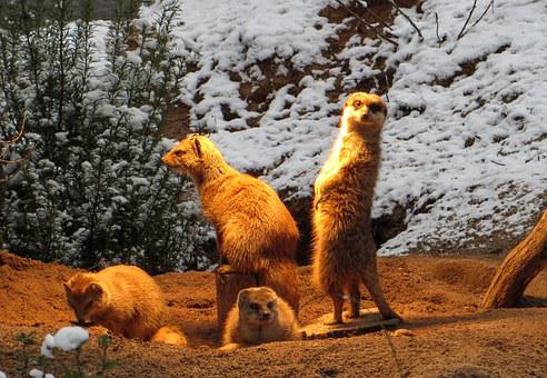 Mongoose, Fuchsmanguste, Group, Cold, Heat, Sentry