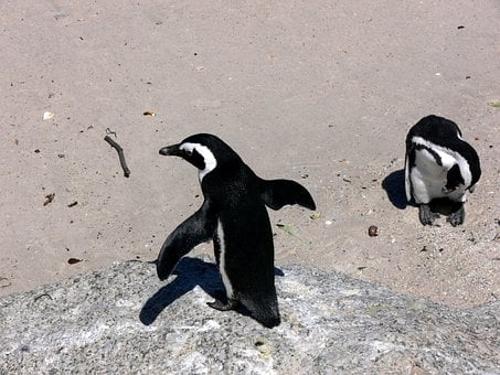 Penguin, Simon Town, South Africa, Bird, Wings, Feather