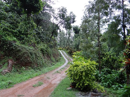 Trail, Forest, Coffee Plantation, Coffea Robusta