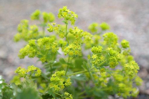 Frauenmantel, Flowers, Plant
