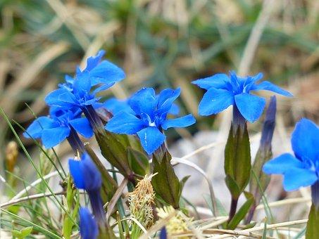 Spring Gentian, Gentian, Flower, Blue, Blossom, Bloom