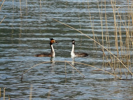 Great Crested Grebe, Podiceps Cristatus, Water Bird