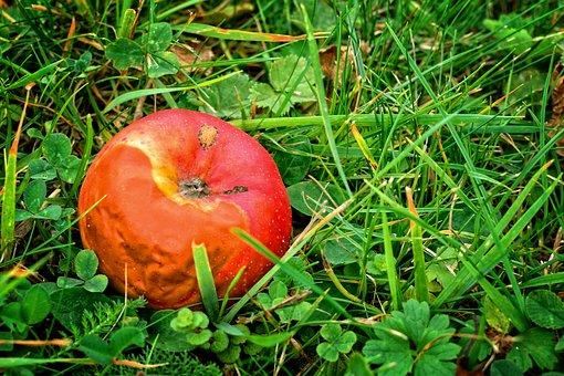 Fruit, Apple, Autumn, Windfall, Rot, Lazy, Fäule Rot