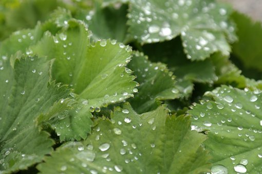 Sharp Lappiger Lady's Mantle, Leaves, Raindrop, Drip