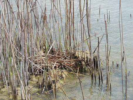 Nest, Great Crested Grebe, Reed, Hidden, Water, Pond