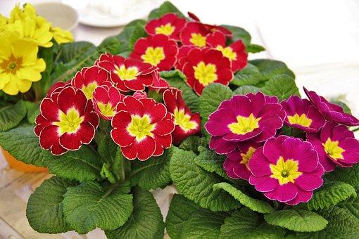 Primrose Pots, Signs Of Spring, Colorful, Primroses
