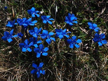 Spring Gentian, Bueten, Dark Blue, Blue, Raindrop