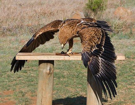 Bird Of Prey, Raptor, Predator, Yellow-billed Kite