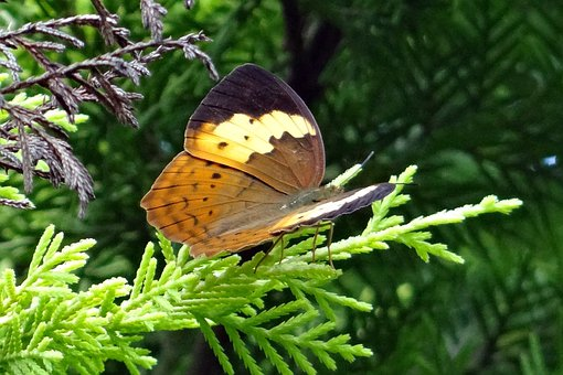 Butterfly, Rustic, Cupha Erymanthis