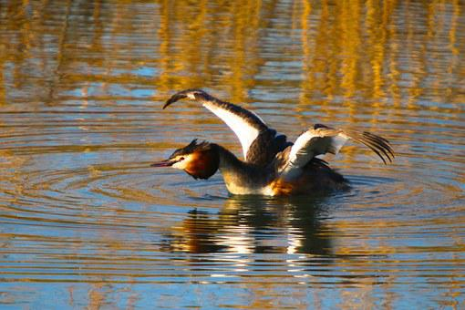 Nature, Water Bird, Great Crested Grebe, Wing, Stretch