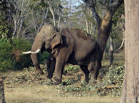 Elephant, India, Tusker, Animal, Mammal, Wildlife