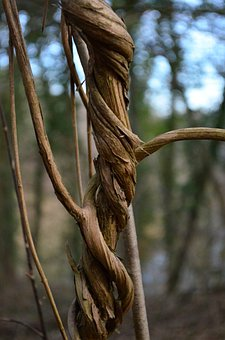 Liane, Climber, Strand, Wound, Twisted, Woods, Forest