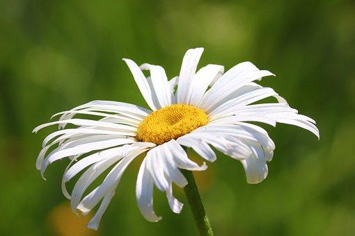 Marguerite, Blossom, Bloom, White, Spring, Summer
