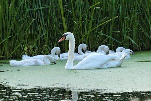Swan With Chicks, Swan, Chicks, Nature, Waterfowl