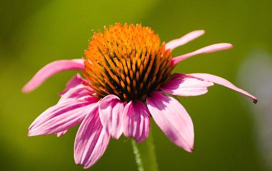 Flower, Sun, Sunny, Summer, Nature