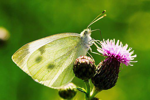 Butterfly, Insect, Summer, Nature, Wing