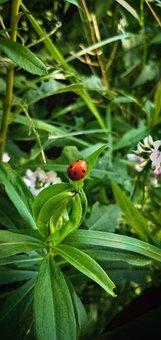 Ladybug, Plant, Insect, Nature, Flower