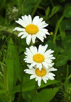 Ox-Eye Daisy, Common Daisy, Field Daisy