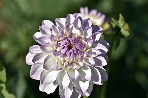 Dahlia, Dahlias Bud, Flower, Schnittblume, Bud