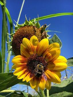 Sunflower, Bee, Yellow, Flower, Bloom, Pollen, Nature