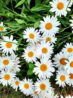 Daisy, Macro, White, Nature, Flora