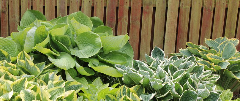Plantain Lily, Hosta, Leaf, Leaves, Woodland, Perennial