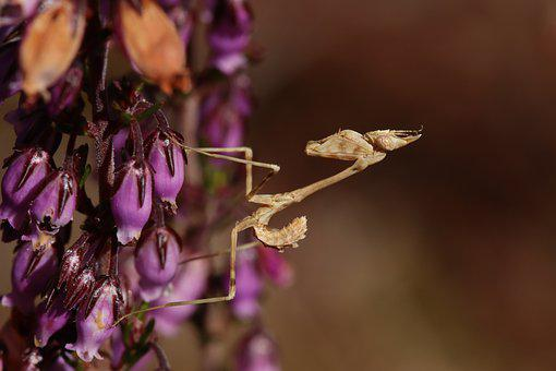 Mantis, Little, Baby, Brown, Insect
