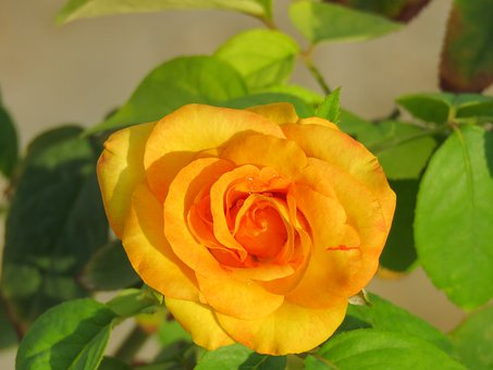 Yellow Rose, Rose, Flower, Yellow, Plant