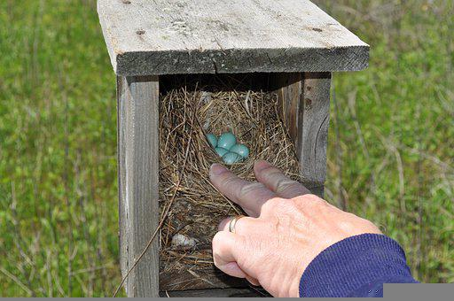 Bluebirds, Bluebird, Eggs, Nest, Nest Box, Birdhouse