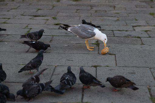 Pigeons, Bread, Eat, Venice, Animals, Birds, Seagull