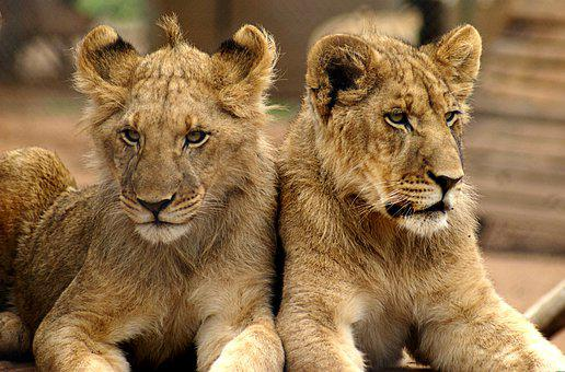 Lion, Brothers, Mane, Male, Carnivores, Young