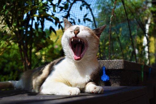 Cat, Feline, Yawn, Sleep, Canines, Language, Muzzle