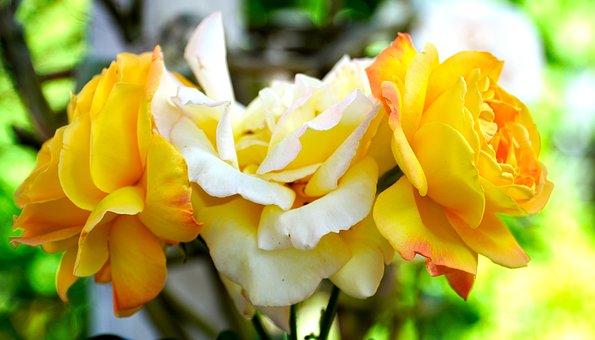 Rose, Blossom, Bloom, Rose Bloom, Nature, Flora