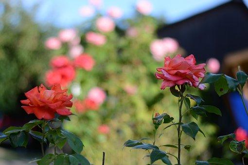 Rose, Thorn, Spines, Flower, Plant