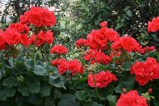 Geranium, Flowers, Red, Blossom, Summer, Colorful