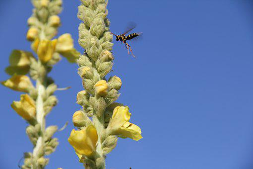 Mullein, Sky, Wasp, Insect, Yellow