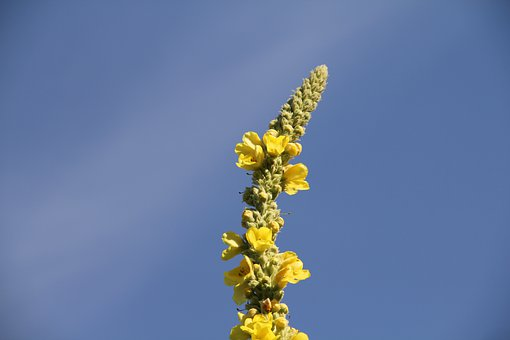 Mullein, Sky, Blue, Yellow, Summer, Blossom, Bloom