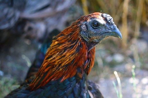 Bruges Fighters, Chicken, Domestic Chicken