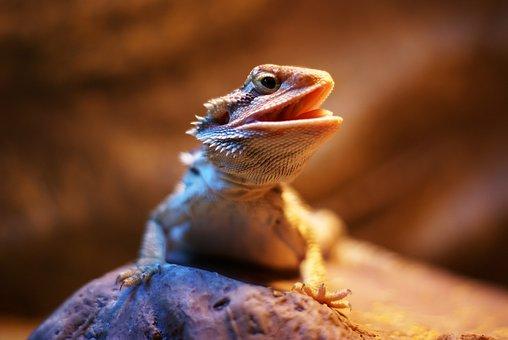 Bearded Dragon, Dragon, Lizard, Reptile, Exotic