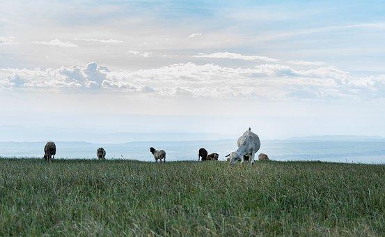 Goats, Farm, Land, Animal, Livestock, Landscape, Wide