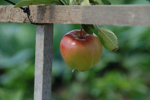 Apple, Growth, Nature, Garden, Allotment, Itself