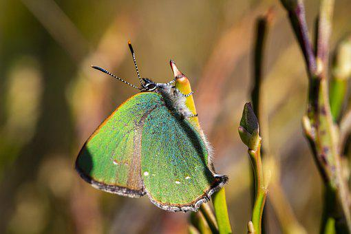 Green Hairstreak, Callophrys Rubi, Nature, Insect