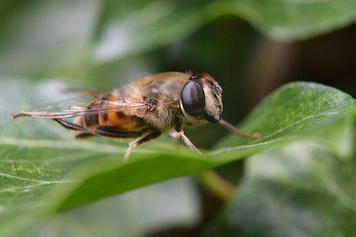Drone Bee, Bee, Insect, Nature, Fly, Animal, Beekeeper
