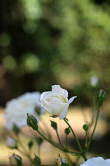 Rose, White, Bush, Bouquet, Flowers, Flower, Plant